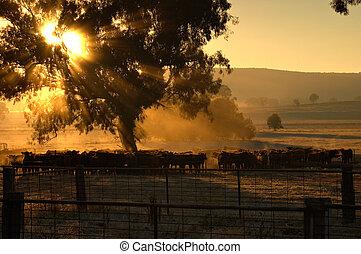 matin, bétail