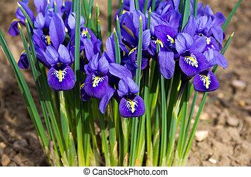 matin, fleur, parc, iris