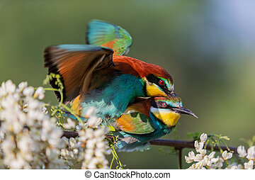 mating a pair of bee-eater on a flowering robinia branch