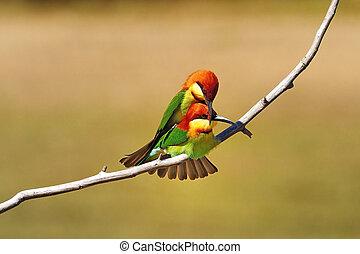 Chestnut-headed Bee eater - Mating Bee-eater, Chestnut-...