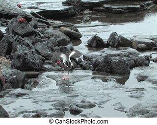 Mating Birds in Galapagos Islands