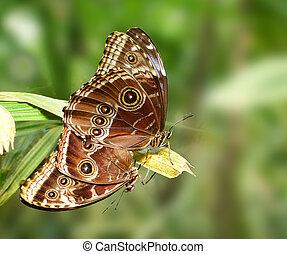 Mating butterfly - Owl butterfly (caligo eurilochus)