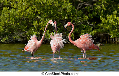 Mating dance Caribbean flamingos ( Phoenicopterus ruber ruber ) on pond in Cuba.