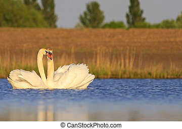 mating dance of white swans