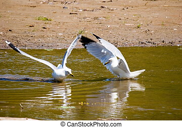 Two gulls performing a mating dance
