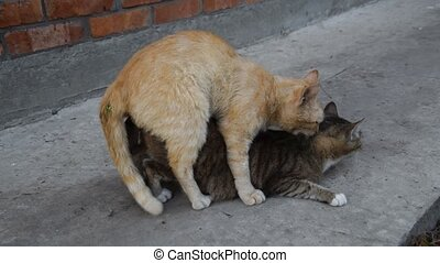 Mating domestic cats. The natural behavior of the animals.