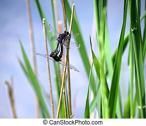 Mating Dragonflies - Dragonflies mating on reeds by the pond...
