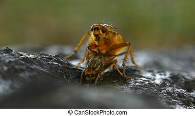 Extreme macro of mating yellow dung fly pair (Scathophaga stercoraria)