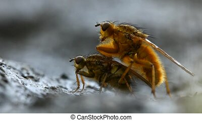 Mating flies - Extreme macro of mating yellow dung fly pair...