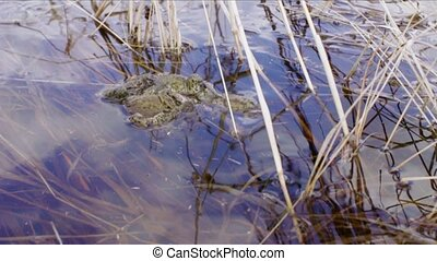 Numerous frogs in a pond during mating period.