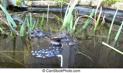 Mating Frogs laying Frogspawn in a pond.