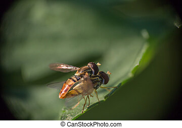 Mating Hoverflies #1