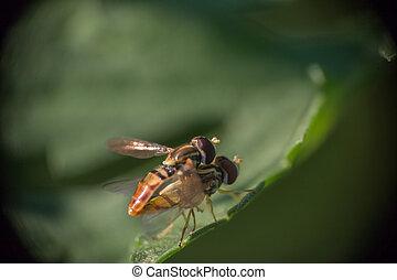 Mating Hoverflies #1