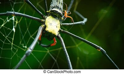 Extreme closeup of a mating pair of Nephila spiders, with their disparate size, on their web in the wild. Video 3840x2160