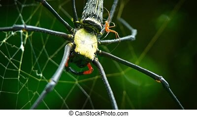 Mating Pair of Golden Silk Orb Weaver Spiders in the Wild. video