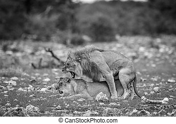 Mating pair of Lions in black and white.