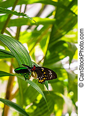Mating pair of Ornithoptera euphorion - birdwing butterfly