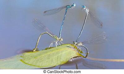 Mating season of dragonflies - Macro shot of mating...