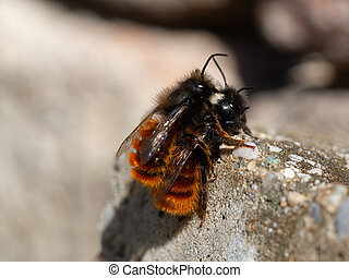 Mating time of the mason bee in spring