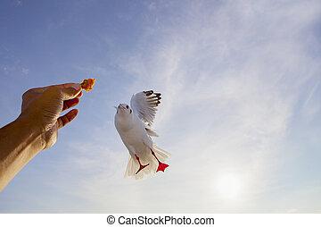 matning, mänsklig, fiskmås, bland, hand, sjögång vädra, ...
