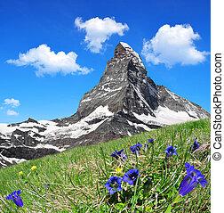 Matterhorn in the foreground blooming gentian, Pennine Alps,...