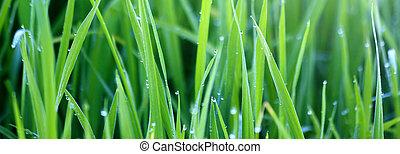 mattina, erba, verde, rugiada