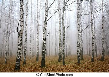 mattina, foschia, in, autunno, betulla, boschetto