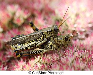 Matting Grasshopper - Matting grasshopper over pink Autumn...