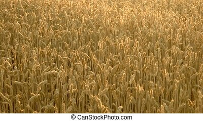 Mature big ears of wheat in the field in summer....