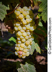 Mature bunch of grapes fruits in autumn