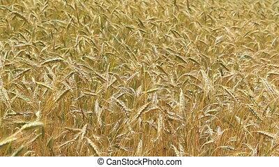 Mature cereal field in summer light