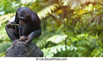 Mature Chimpanzee Perched on a Rock at the Zoo