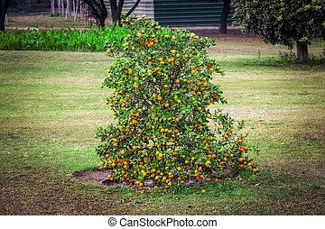 Mature clementines. A clementine is a hybrid between a mandarin and a sweet orange, Rutaceae family. Dwarf Bush with tangerines. Low tree with small varieties of oranges.
