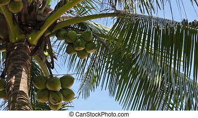 mature coconuts at the top of palm