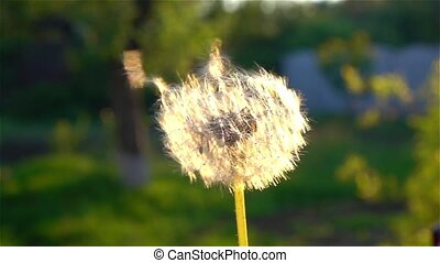Mature dandelion blow away. Close up
