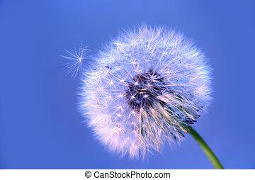 mature dandelion on blue background