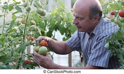Mature farmer or gardener in the greenhouse checking his...