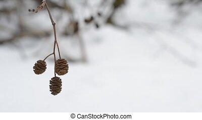 Mature female alder catkins swaying in wind. Alnus -...