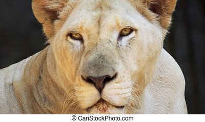 Face and head of a mature, female, Arican lion in closeup. FullHD 1080p video