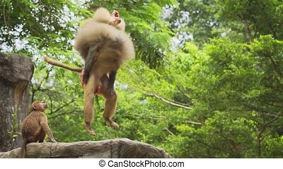 Mature male baboon leaps in the air to catch tossed morsels of food at a popular animal park. 4k Ultra HD video