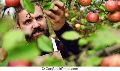 Mature man checking apples in orchard in autumn. - A mature...