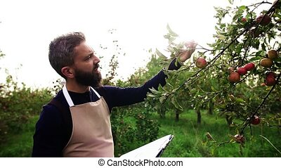 Mature man checking quality of apples in orchard in autumn....