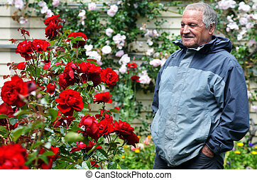 Mature man looks at red roses flower