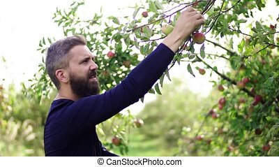 Mature man picking apples in orchard in autumn. - A mature...