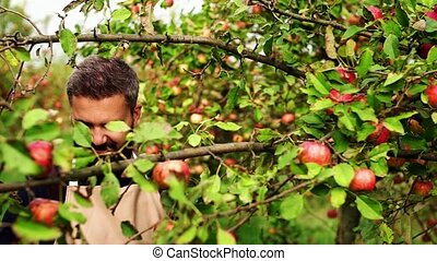 Mature man with basket picking apples in orchard in autumn....
