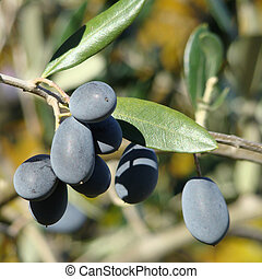 mature olive fruit in Tuscany, harvest time