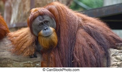 Mature orangutan, with his characteristic red hair, lounges lazily on an old log in its habitat enclosure at a public. UltraHD video