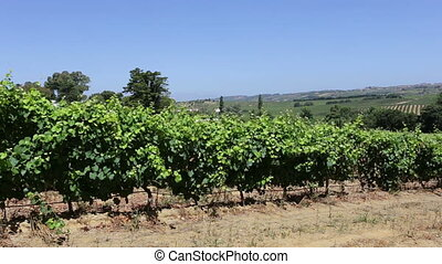 Mature Portuguese vineyards plantation for winemaking. -...