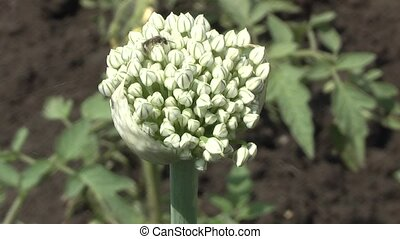 garlic. - mature seeds of garlic.