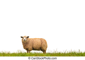 Mature sheep isolated on white - Mature sheep standing on ...